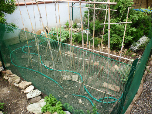 Pomodori nell'orto protetti dalle galline